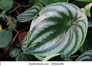 Leaves of decorative houseplant Watermelon Peperomia, latin name Peperomia Argyreia, native to South America