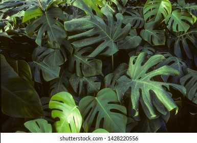 leaves of delicious monster in tropical garden