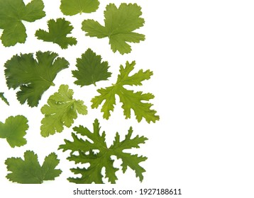 Leaves of different scented pelargoniums, fragrance geraniums (Rose geranium, Pelargonium capitatum, graveolens), on white background