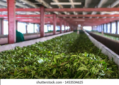 leaves are dried in tea factory in Sri Lanka. Tea production. Special room for drying tea tree leaves.