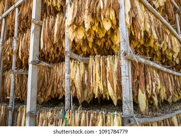 Leaves of dried tobacco in the curing plant.