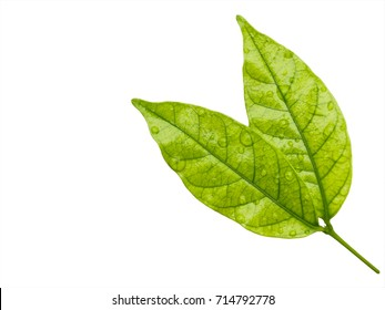 leaves with drops isolated on a white background with clipping path