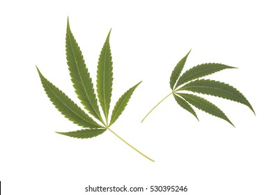 leaves of Dutch Cannabis sativa, isolated on white background