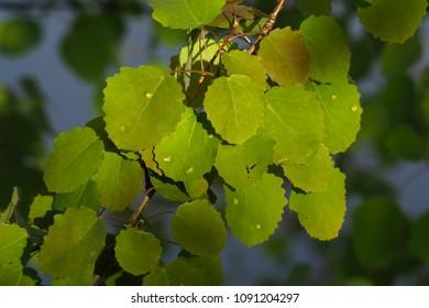 Leaves of the European Aspe