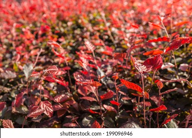 Leaves of the European Purple Beech or Fagus sylvatica Atropurpurea in low afternoon sunlight in the beginning of the summer season.