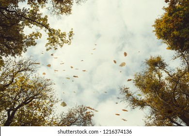 leaves falling from forest trees in autumn, view toward sky, low angle perspective