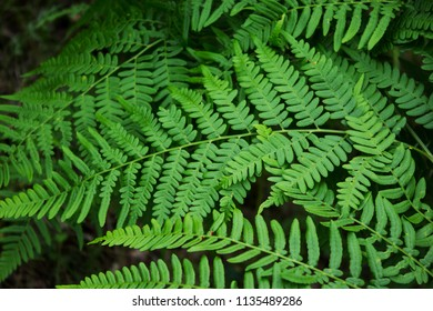 Leaves of the fern. The leaves of the green fern in the forest.