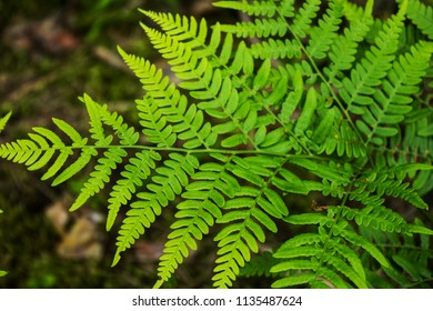 Leaves of the fern. The leaves of the green fern in the forest. Natural background.