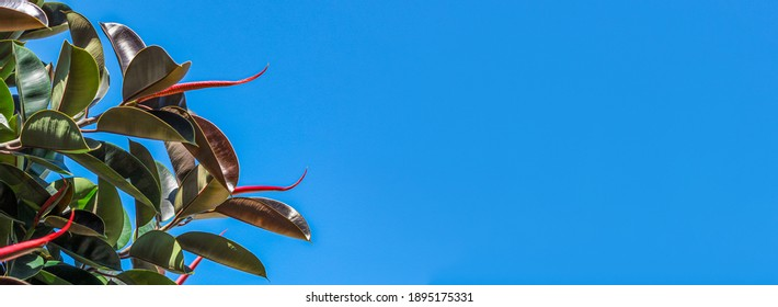 Leaves ficus elastica rubbery, black prince against the blue sky  banner.