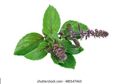 Leaves and flower of Ocimum sanctum, holy basil, or tulasi or tulsi  on white background. Ocimum sanctum in Thai name is Kaphrao.