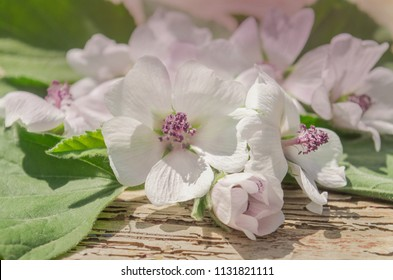 The leaves and flowers of Althaea officinalis. Althaea have medicinal properties. Medicinal herb marsh mallow.