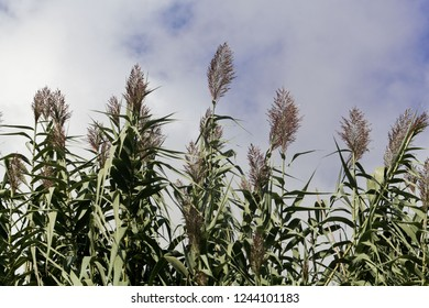 Leaves and flowers of giant miscanthus (Miscanthus x giganteus)