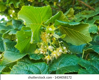 Leaves and flowers of large-leaved linden, Tilia platyphyllos