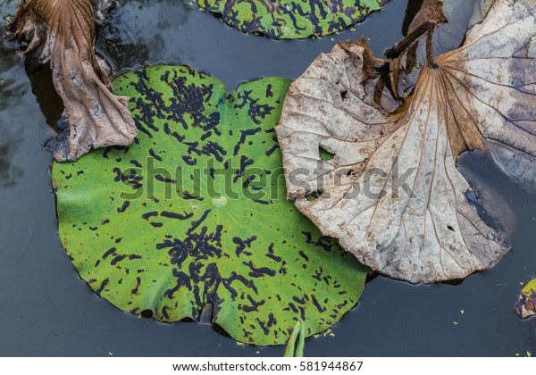 Leaves and flowers of lotus withered and dried on the pond in garden background