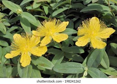 leaves and flowers of St. John's wort, Hypericum calycinum