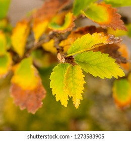 Leaves foliage elm bonsai tree in autumn colouring close-up