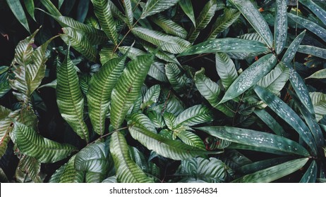The leaves in the forest, but beautiful nature.  Dark green leaf concept.