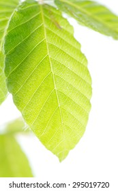 Leaves of fresh green beech