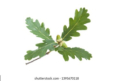 Leaves and fruit of Downy Oak (Quercus pubescens) isolated on a white background