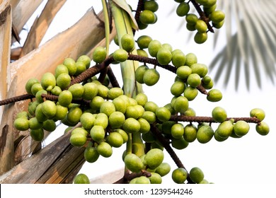 Leaves and Fruit of Fan palm or high palm trees on white background. Food for Health concept.