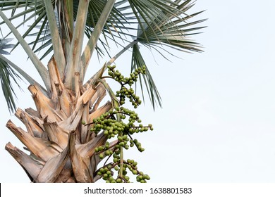 Leaves and Fruit of Fan palm or high palm trees on nature background. Food for Health concept.