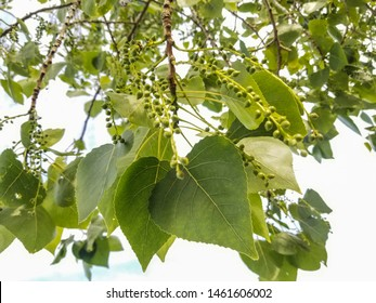 Leaves and fruits of American basswood or linden, Tilia americana
