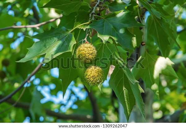 leaves-fruits-american-sycamore-plane-60