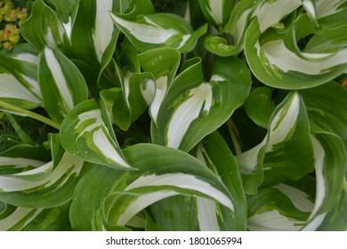 Hósta leaves in the garden