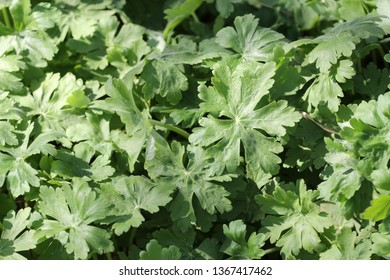 leaves of geranium