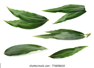 Leaves of ginger isolated.