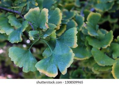 Leaves of Ginkgo biloba, commonly known as ginkgo, gingko or maidenhair tree