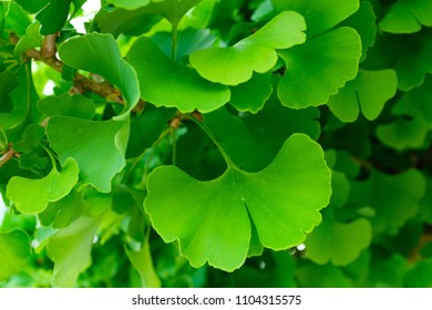 Leaves of ginkgo biloba tree in spring