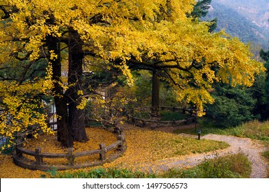 The leaves of the ginkgo biloba tree turn into beautiful golden yellow in autumn, and are ornamental plants. Ginkgo is also a traditional Chinese medicine that can be used to treat cough.