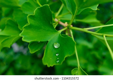 Leaves of ginkgo biloba tree with waterdrop