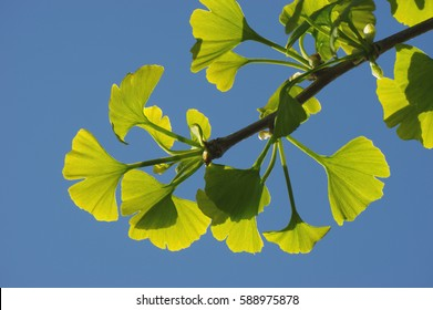 Leaves of the ginkgo tree in the sunlight