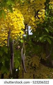 Leaves of the Golden Shower Tree or the Golden Rain Tree (Cassia Fistula) with its fruits in focus