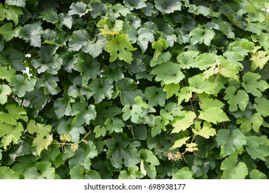 Leaves of grapes.