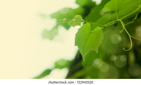 Leaves of grapes background with place for text