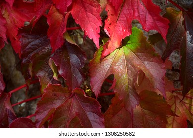 Leaves of a grapevine in different shades of red with a sunspot.