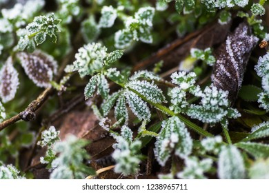 Leaves of grass, gallium cleaver covered with frost in late autumn. Ice crystals on green grass close up. Galium aparine cleavers, clivers, goosegrass,  Nature background.