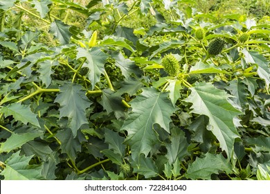 Leaves and green fruit with spikes Datura stramonium (jimsonweed) plant.