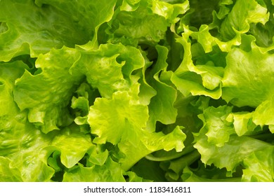 Leaves of green lettuce in the garden. Fresh salad background at garden.