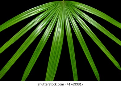 Leaves of a green palmate palm tree spreading out against a black background.