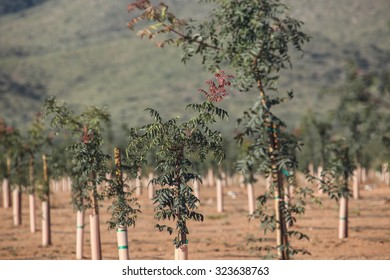 Leaves in green and red of young pistachio nut tree in orchard in Fall/Green and Red Leaves of New Rootstock Pistachio Nut Tree in early Autumn/Green little rootstock pistachio nut tree
