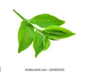leaves green tea with drops of water isolated on white background