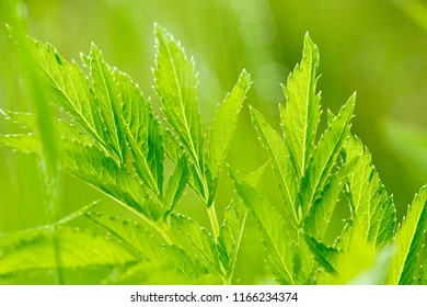 Leaves of green uncultivated plants. Blurred background.