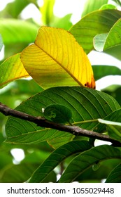Leaves of guava in the Autumn season in South of Brazil