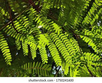 leaves of gulmohar tree lighting in sunlight