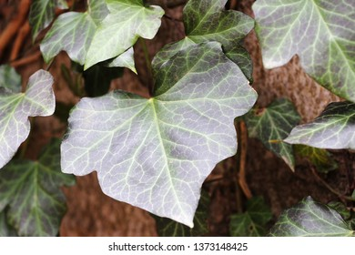 leaves of hedera helix