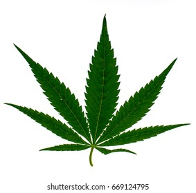 Leaves of hemp on white background